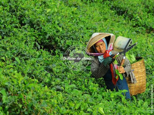 Darjeeling Chamong - La récolte
