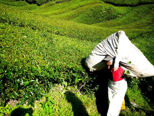 Récolte du thé en Assam
